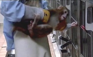 Applied research - handling of a captive primate
